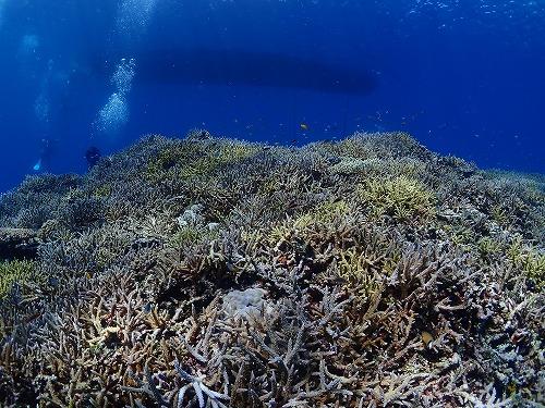 西表島のキレイなサンゴ