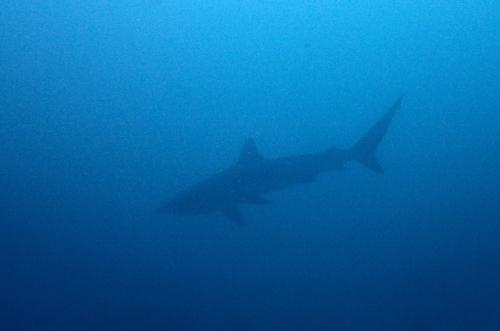オオメジロザメのシルエット